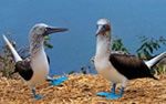 Galapagos wildlife, Blue-Footed Booby