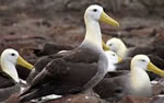 Galapagos wildlife, Waved Albatross