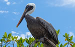 Galapagos wildlife, Brown Pelican