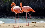Galapagos wildlife, Flamingo