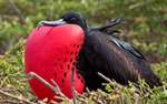 Galapagos wildlife, Frigate Bird