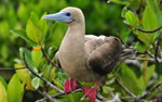 Galapagos wildlife, Red-Footed Booby